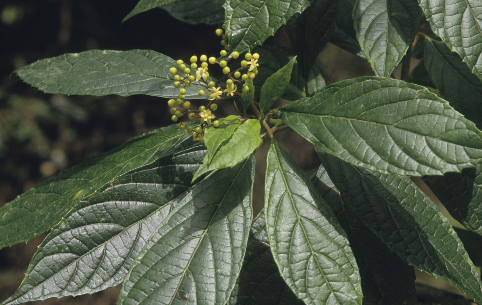 Showing leaves and flower buds