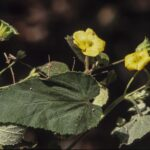 Abutilon oxycarpum, image Alan Fairley