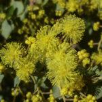 Acacia Little Nugget close up