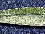 phyllode