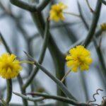 Acacia aphylla, image Heather Miles
