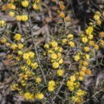 Acacia asparagoides image Alan Fairley