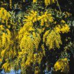 Acacia baileyana, image Alan Fairley