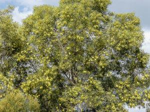 Acacia blakei ssp diphylla