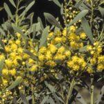 Acacia chalkeri, image Alan Fairley