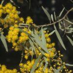 Acacia clunies-rossiae, image Alan Fairley