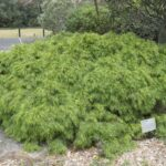 Acacia cognata, low growing form, image Heather Miles