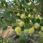 Acacia cremiflora, image Alan Fairley