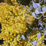 Acacia cultriformis, image Warren and Gloria Sheather