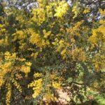 Acacia cultriformis by Rhonda Danieks