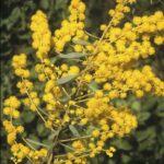 Acacia decora, image Alan Fairley