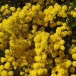 Acacia decurrens, image Dan Clarke