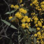 Acacia dorothea, image Alan Fairley