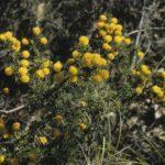Acacia echinula, image Alan Fairley