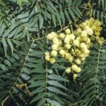Acacia elata, image Alan Fairley