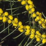 Acacia elongata, image Alan Fairley
