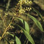 Acacia falcata, image Alan Fairley