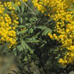 Acacia filicifolia, image Alan Fairley