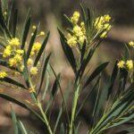 Acacia flocktoniae, image Alan Fairley