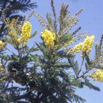 Acacia fulva, image Alan Fairley