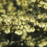 Acacia genistifolia, image Alan Fairley