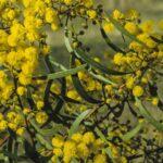Acacia gladiiformis, image Alan Fairley