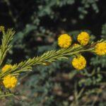 Acacia gordonii, image Alan Fairley