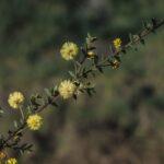 Acacia gunnii, image Alan Fairley