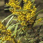 Acacia hakeoides, image Alan Fairley