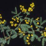 Acacia jonesii, image Alan Fairley