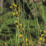 Acacia juncifolia, image Alan Fairley