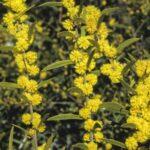 Acacia lanigera, image Alan Fairley