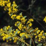 Acacia leucolobia, image Alan Fairley