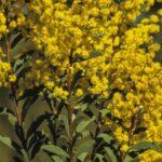 Acacia lunata, image Alan Fairley