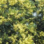 Acacia mearnsii, image Alan Fairley