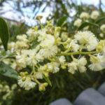 Acacia myrtifolia flowers