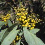 Acacia obliquinervia, image Alan Fairley
