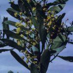 Acacia obtusata, image Alan Fairley