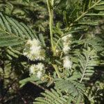 Acacia oshanesii