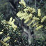Acacia oxycedrus, image Alan Fairley