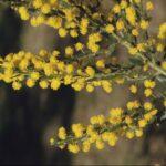 Acacia paradoxa, image Alan Fairley