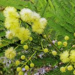 <Acacia parramattensis>, one of the principal shrubs in the Endangered Cumberland Plains Woodlands, image Warren Sheather