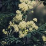 Acacia parvipinnula, image Alan Fairley