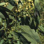 Acacia penninervis, image Alan Fairley