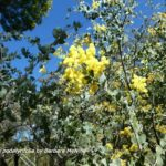 Wattles are blooming
