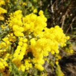 Acacia pravissima, image Warren Sheather