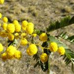 Acacia pruinosa flowers