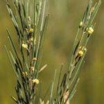Acacia ptychoclada, image Alan Fairley