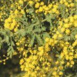 Acacia pubescens, image Alan Fairley