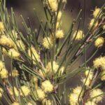 Acacia quadrilateralis, image Alan Fairley